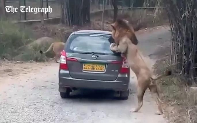 Con sư tử chồm hẳn 2 chân trước lên chiếc xe. Ảnh: Telegraph