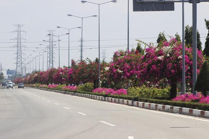Đi tới đoạn eo Ông Từ, màu đỏ của hoa giấy bao trùm lên toàn tuyến đường. Dường như cái nắng, gió của biển chẳng thể nào hủy diệt được sức sống bền bì, dẻo dai của loài hoa này. Trời càng nắng, hoa giấy càng nở rộ.