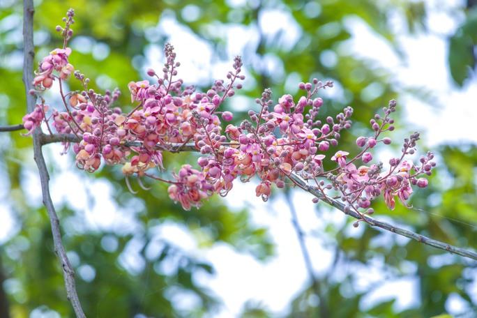 Có người ví von hoa ô môi là hoa đào của miền Nam bởi cái màu hồng của hoa và cái sự nở rộ của mùa