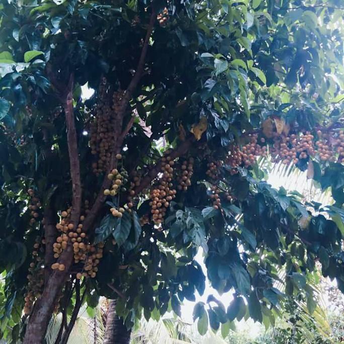 Vào mùa trái cây, du lịch miệt vườn hút khách - Ảnh 1.