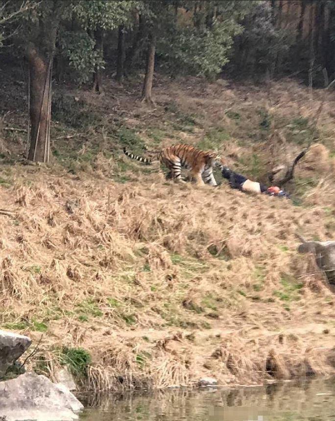 Con hổ hung tợn vồ lấy nạn nhân. Ảnh cắt từ clip