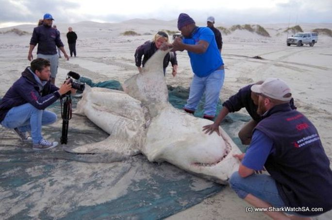 Kinh dị cá voi sát thủ moi gan cá mập trắng - Ảnh 2.