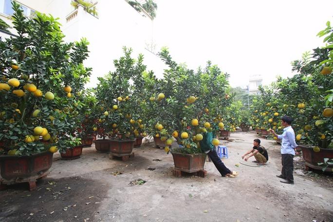 Anh Vũ Văn Tư (35 tuổi) hiện là chủ vườn cây cảnh tại đường Âu Cơ (Hà Nội), trong vườn của anh có 80 gốc bưởi trưởng thành, mỗi cây cấy ghép từ 70 đến 200 quả, giá dao động 20 đến 40 triệu đồng/một cây.