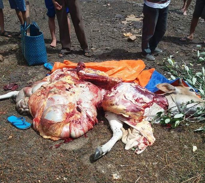 Con bò đã bị Châu, Quyên xẻ thịt khi dắt ra khỏi chuồng chưa đến 100m