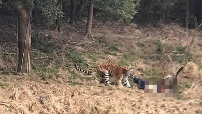 Đoạn video lan truyền trên mạng cuối tuần trước cho thấy nạn nhân bị một con hổ vồ lấy. Ảnh: SCMP