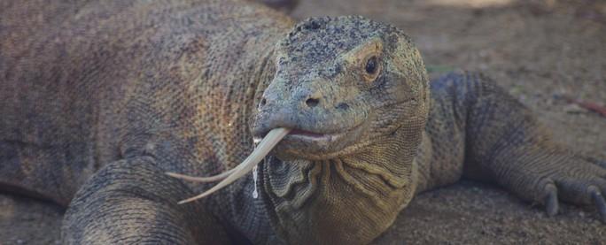 Protein được tìm thấy trong máu loài rồng Komodo có khả năng kháng khuẩn. Ảnh: Science Alert