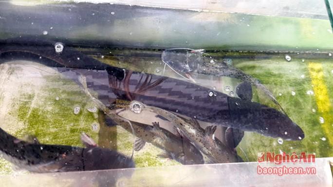 Săn cá đặc sản ở  Nghệ An - Ảnh 2.