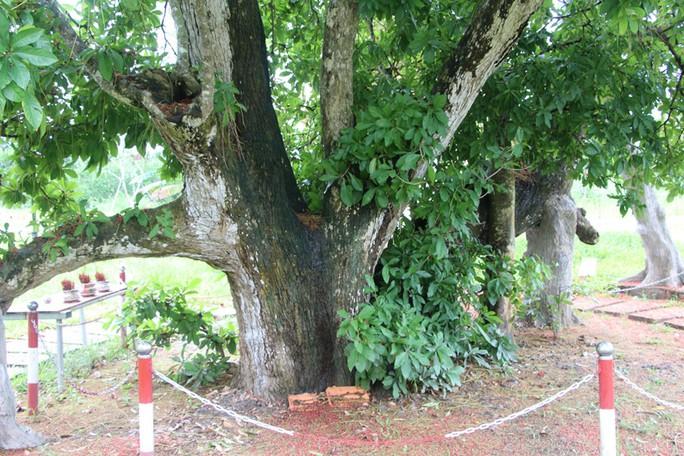 Cây lộc vừng 300 tuổi ở miền Tây trổ hoa nghịch mùa - Ảnh 2.