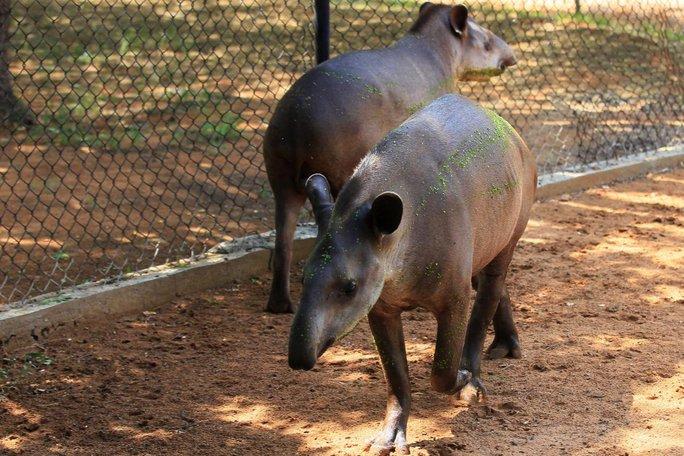 Venezuela: Thiếu thực phẩm, vào sở thú trộm heo - Ảnh 1.