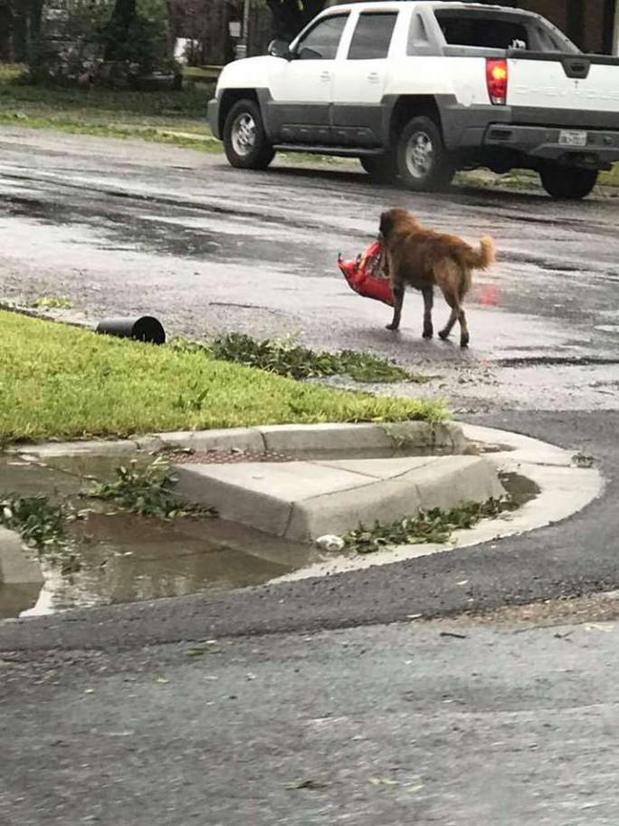 Chú chó biểu tượng cho sức mạnh Texas trong bão Harvey - Ảnh 1.