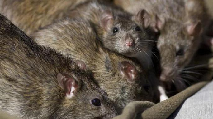 Pháp: Kinh hãi nữ sinh tàn tật bị đàn chuột tấn công - Ảnh 1.