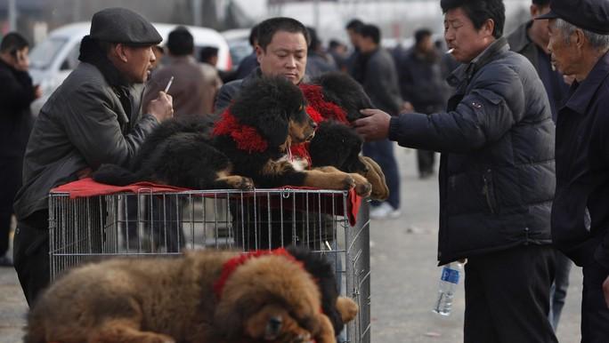 Thảm cảnh của chó ngao Tây Tạng - Ảnh 4.