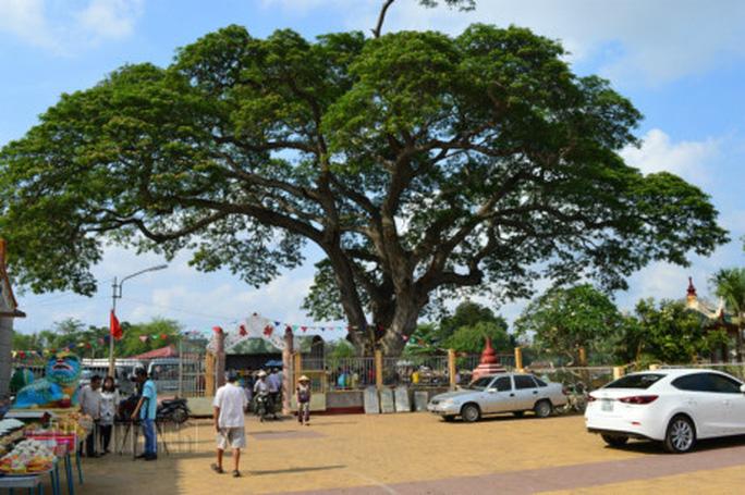 Những cổ cây có 1 không 2 ở Sóc Trăng - Ảnh 1.