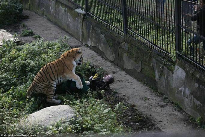 Hổ tấn công nhân viên sở thú trước mắt du khách - Ảnh 1.