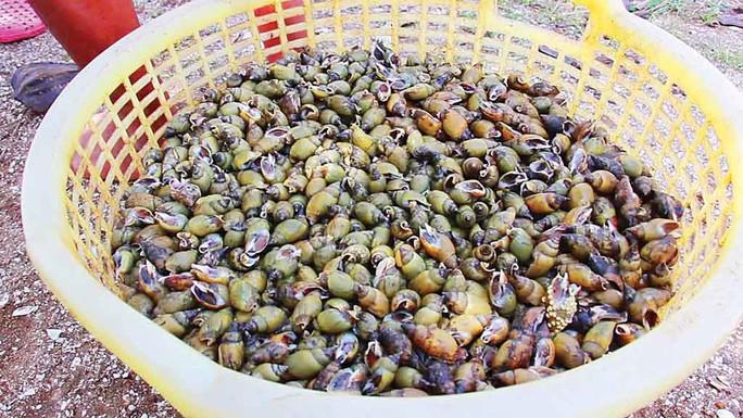 Săn ốc cà na trên biển Gò Công - Ảnh 2.