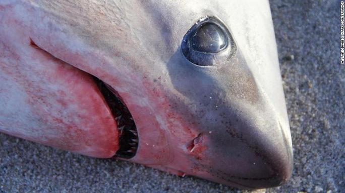 Mỹ, Canada: Trời lạnh đến nỗi cá mập chết cóng, dạt vào bờ - Ảnh 2.