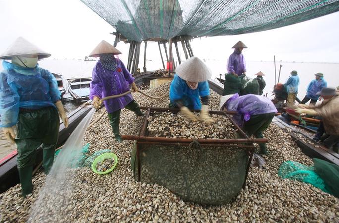 Cận cảnh bắt hàng trăm tấn ngao ở biển Tiền Hải - Ảnh 11.