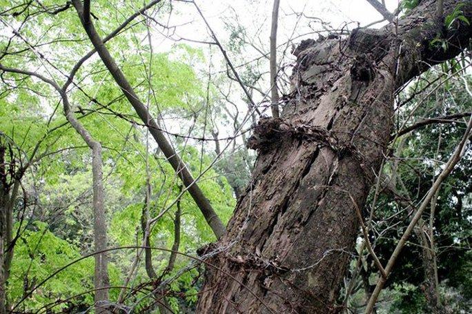 Cây sưa đỏ có vỏ ngoài sần sùi, gỗ tỏa ra mùi thơm thoang thoảng đặc biệt có độ bền rất cao, ngâm trong bùn, trong nước nhiều năm vẫn không hề bị thấm nước hay mục nát. Chính vì thế, giá sưa đỏ trên thị trường khá cao, thời điểm đắt đỏ nhất có giá rơi vào khoảng 20 tỷ/m3. Cây sưa đỏ có vỏ ngoài sần sùi, gỗ tỏa ra mùi thơm thoang thoảng đặc biệt có độ bền rất cao, ngâm trong bùn, trong nước nhiều năm vẫn không hề bị thấm nước hay mục nát. Chính vì thế, giá sưa đỏ trên thị trường khá cao, thời điểm đắt đỏ nhất có giá rơi vào khoảng 20 tỷ/m3.