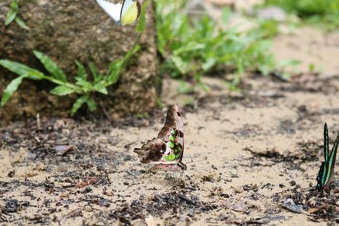 Mê hồn thiên đường bướm ở Đắk Lắk - Ảnh 5.