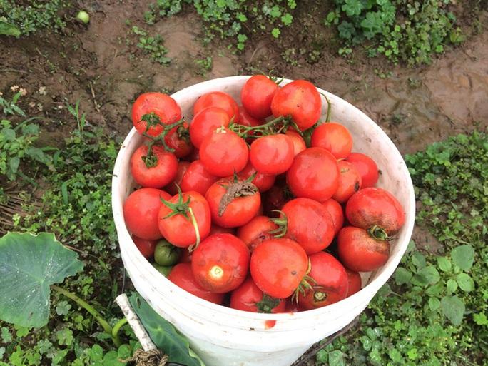 Cà chua to nhưng giá quá rẻ