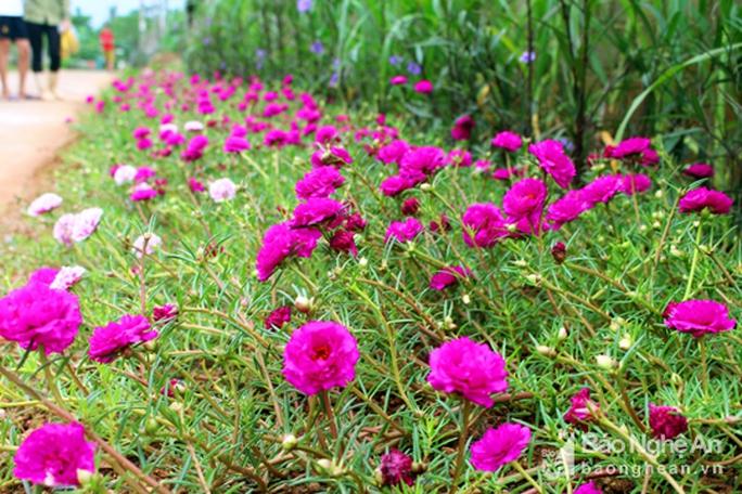 Đẹp ngỡ ngàng con đường hoa ở miền quê Nghệ An - Ảnh 3.