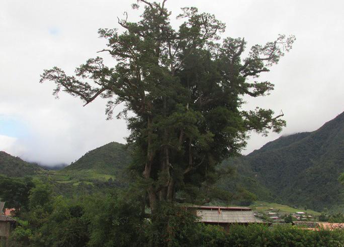 Đi tìm cây sa mu ngàn tuổi dưới dãy Hoàng Liên Sơn - Ảnh 1.