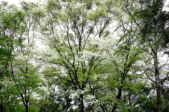 Tháng 3 được xem là mùa hoa sưa nở. Những chùm hoa trắng muốt phủ tuyết trắng cả một góc trời.
