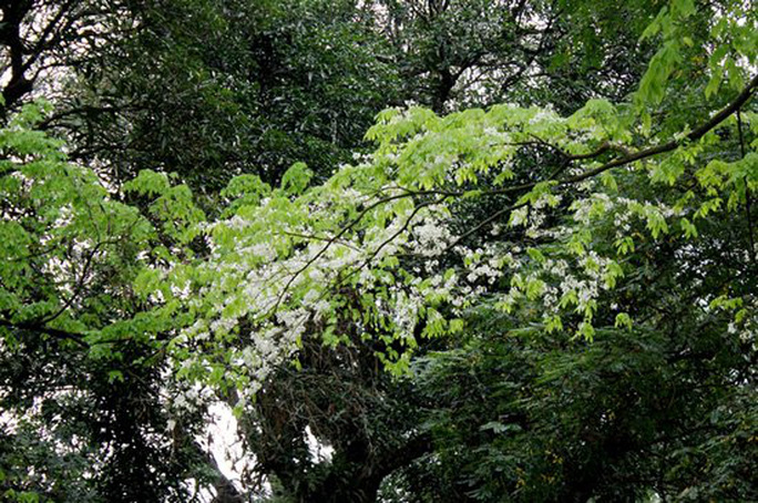 Vào những ngày này, núi Nùng trong công viên Bách Thảo như khoác màu áo mới, khắp không gian đều được phủ màu trắng của hoa sưa.