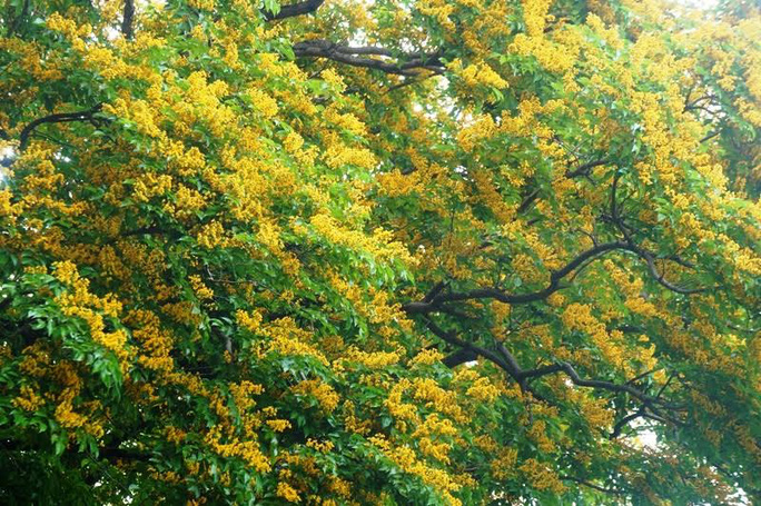Về Tam Kỳ mê đắm bên hoa sưa vàng - Ảnh 8.