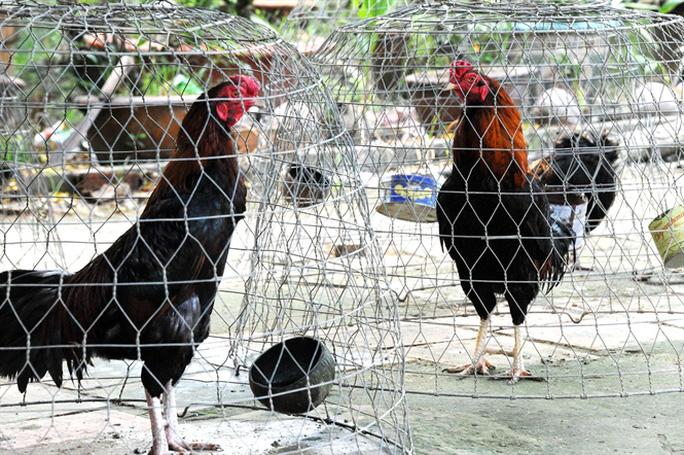 Để có gà hay, việc lai tạo giống là khâu quan trọng nhất