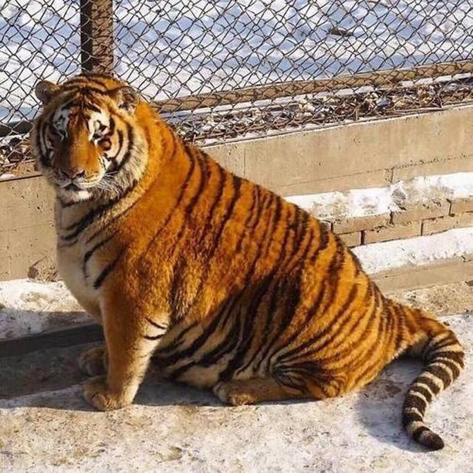 Trước kia, nhiều vườn thú bị cáo buộc bỏ đói hổ đến chết. Ảnh: SHANGHAIIST
