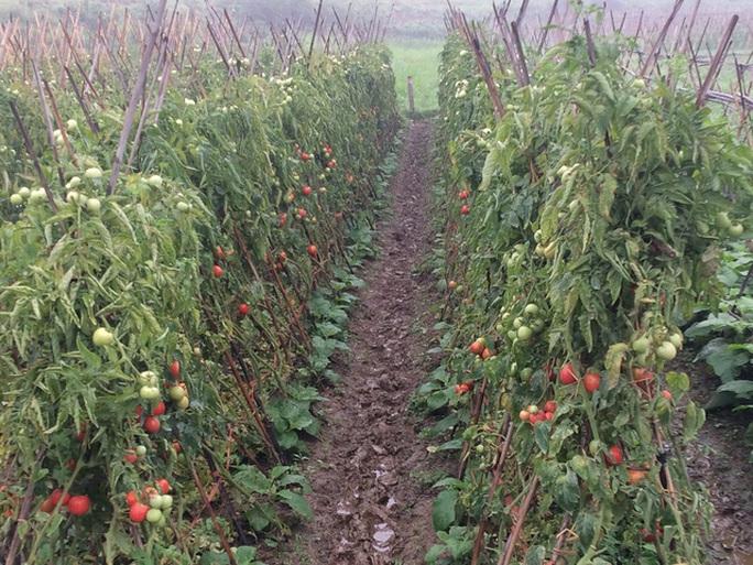 Ruộng cà chua đã chín nhưng nhiều người chẳng buồn hái
