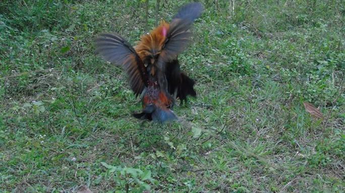 Tận mắt chứng kiến độc chiêu săn gà rừng xứ Nghệ - Ảnh 4.