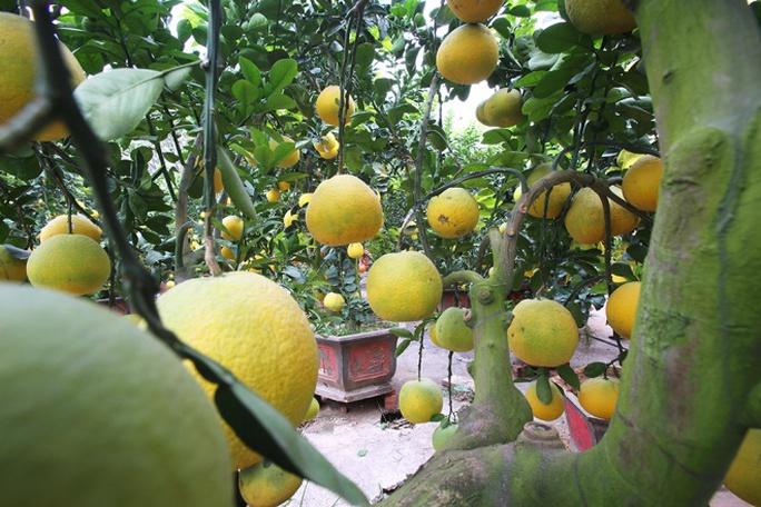 Nghề trồng bưởi, trồng hoa phụ thuộc nhiều vào thời tiết, nếu gặp mưa, sương muối thì sẽ mất mùa. Để thành công, chủ vườn cây phải nắm rất vững kỹ thuật chăm sóc và theo dõi thời tiết hằng ngày.