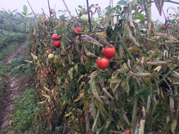 Cà chua đã chín đỏ mà chưa thu hoạch