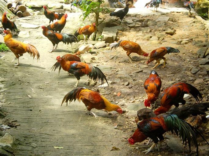 Đa số bà con nuôi gà đá hiện nay đều cho thu nhập cao gấp hơn 10 lần so với nuôi gà thịt truyền thống