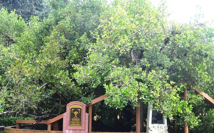 Có thật cây bạch mai cổ 300 năm tuổi ở Bến Tre - Ảnh 6.