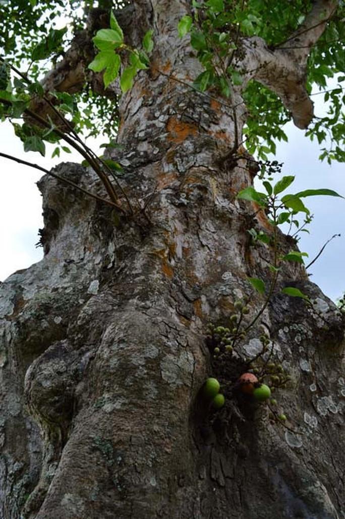 Những cổ cây có 1 không 2 ở Sóc Trăng - Ảnh 7.