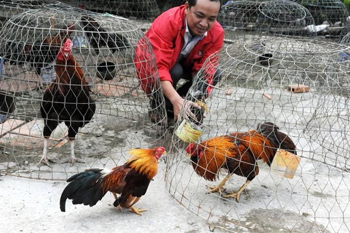 Anh Nguyễn Văn Phúc ở xã Sơn Định, Chợ Lách đang sở hữu trại nuôi gà đá từ 300-400 con cho thu nhập hàng trăm triệu đồng/năm