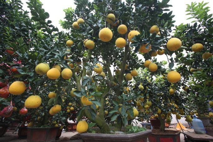 Theo anh Tư, nhìn trên cây, những quả tròn to là bưởi tự nhiên, còn lại là quả ghép.