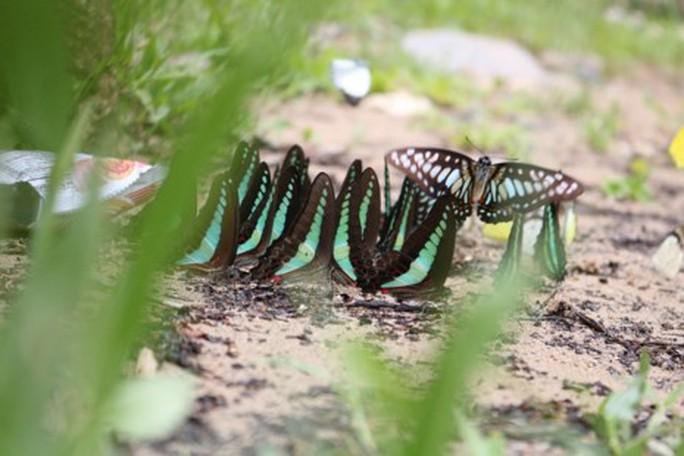 Mê hồn thiên đường bướm ở Đắk Lắk - Ảnh 3.