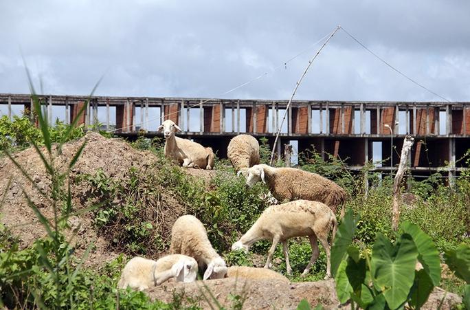 Khu đô thị lớn nhất Cần Thơ thành chỗ chăn cừu - Ảnh 9.