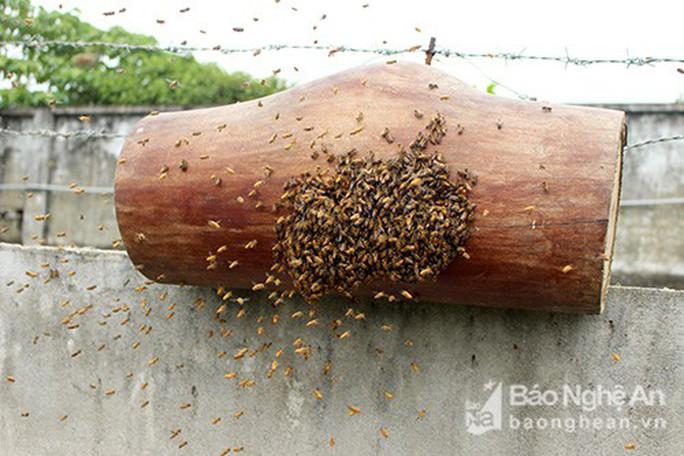 Kỳ thú chuyện săn ong giống ở xứ Nghệ - Ảnh 9.