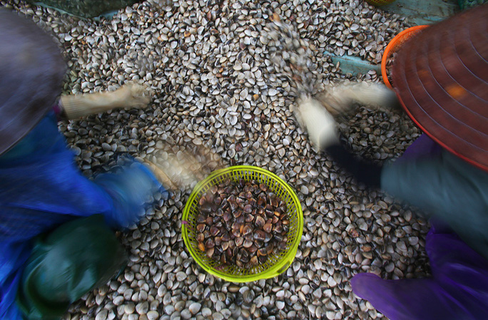 Cận cảnh bắt hàng trăm tấn ngao ở biển Tiền Hải - Ảnh 10.