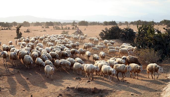 Giá thịt cừu tăng, người nuôi lãi khá - Ảnh 1.