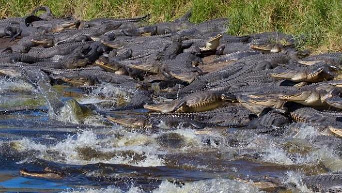 Đàn cá sấu chen kín mặt nước. Ảnh: Lee Dalton