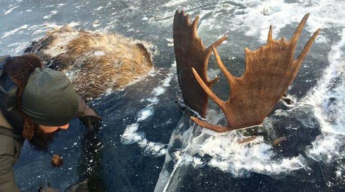 Trước đó, vào tháng 11 qua, hai con nai sừng tấm cũng bị đóng băng chết ở Alaska. Ảnh: RT