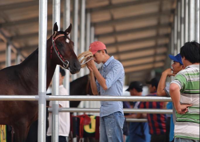 Một người chăm sóc ngựa đang nói chuyện với ngựa trước khi đua
