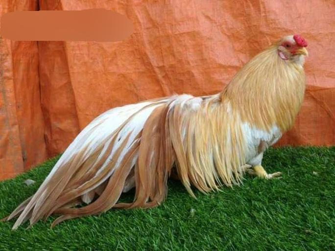 Dáng chuẩn men của gà tre Tân Châu luôn được dân chơi gà kiểng săn lùng vào dịp Tết. Ảnh: Internet