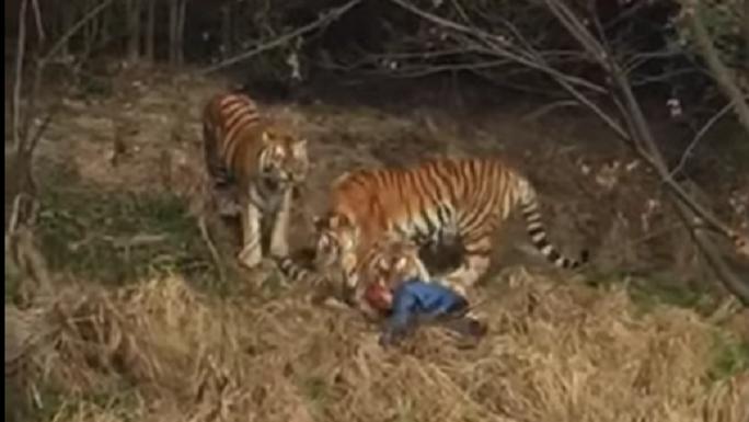 Nạn nhân bị 3 con hổ vờn. Ảnh cắt từ clip